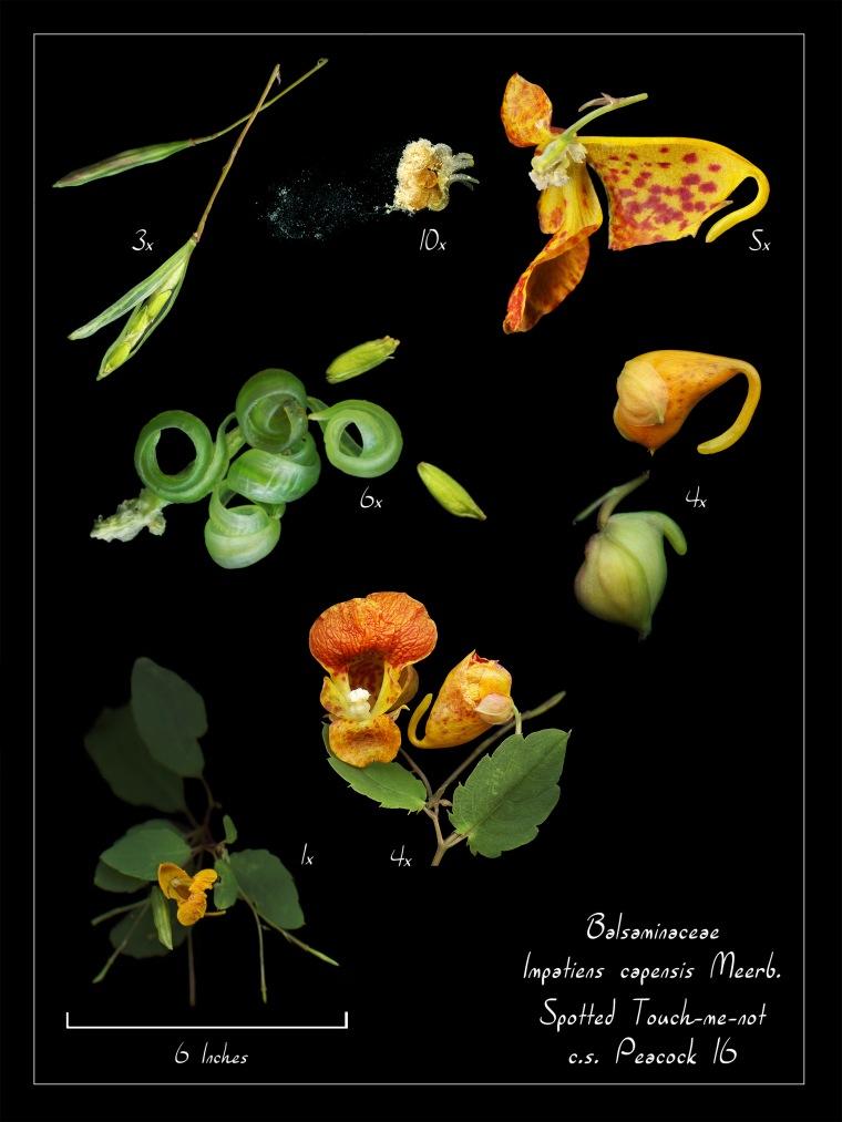 ImpCap_Poster_18x20_Botany